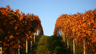 Vines at Lake Constance in Fall