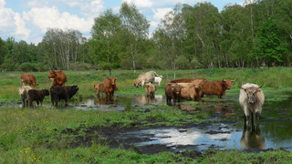 Cows in the Pfrunger-Burgweiler peatlands with their nature conservation centre close to Lake Constance