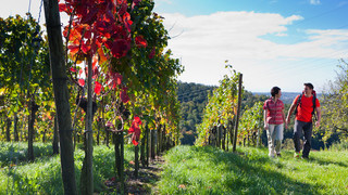 Walk in the vines at Lake Constance