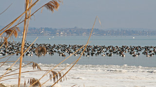 Waterbirds at Untersee in Winter  | © REGIO KBH, Fotograf: Amelie Schmutz