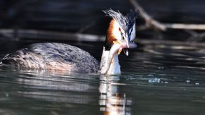 Great crested grebe in Rhine Delta | © Hollenstein D.