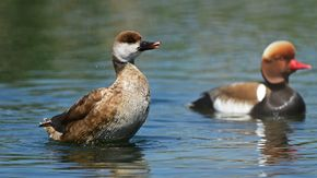 Red-crested pochard in Rhine Delta | © Hollenstein D.